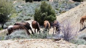 Nevada's Wild Horses Seen From a V&T Train