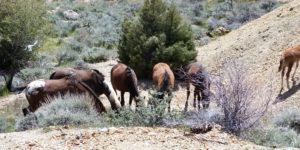 Nevada's Wild Horses Seen From a V&T Train